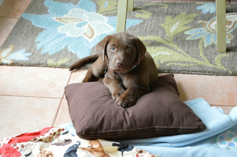 chocolate labs, chocolate lab puppies, chocolate lab puppies for ...